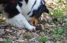 Recherche cavage – truffes